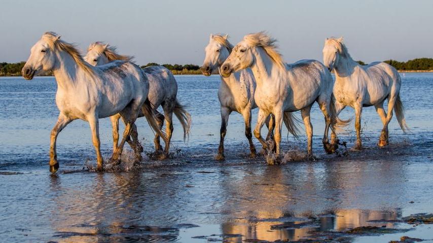 chevaux-camargue-istock-gudkov-andrey